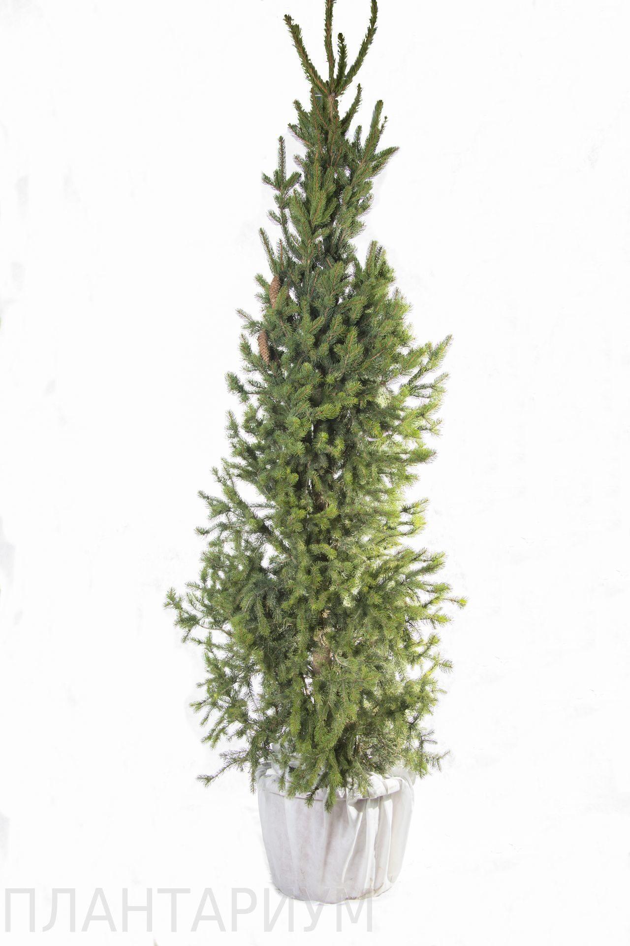 ель обыкновенная фастигиата Picea Abies Fastigiata