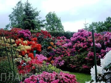 108151102_65642529rhododendron_006_7