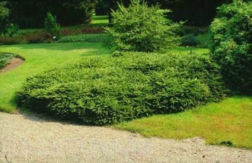 picea-abies-repens-3_225