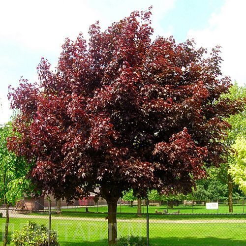 "Клён  остролистный ""Роял Ред"" (Acer platanoides ""Royal Red"")"