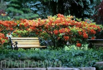 Rhodo-with-Bench1